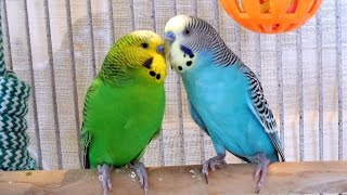 Repeat youtube video 2 Hours Nature Sounds Parakeets Budgies Chirping Singing. Reduce stress blood pressure