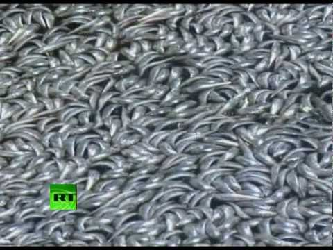 California Kill: Million Floating Dead Fish Fill Marina