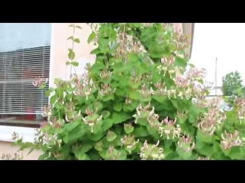Жимолость - уход посадка обрезка удобрения размножение