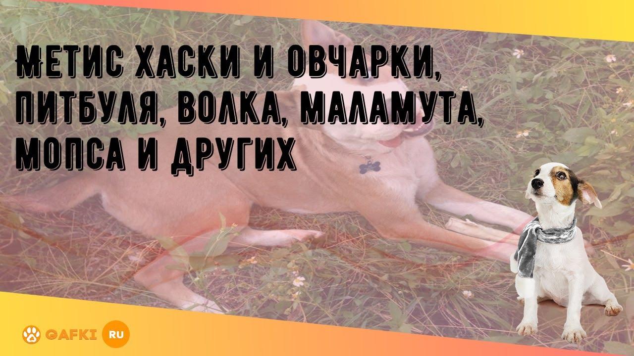 Домашний мопс лишился глаза после нападения хаски у ТЦ в ... | 720x1280