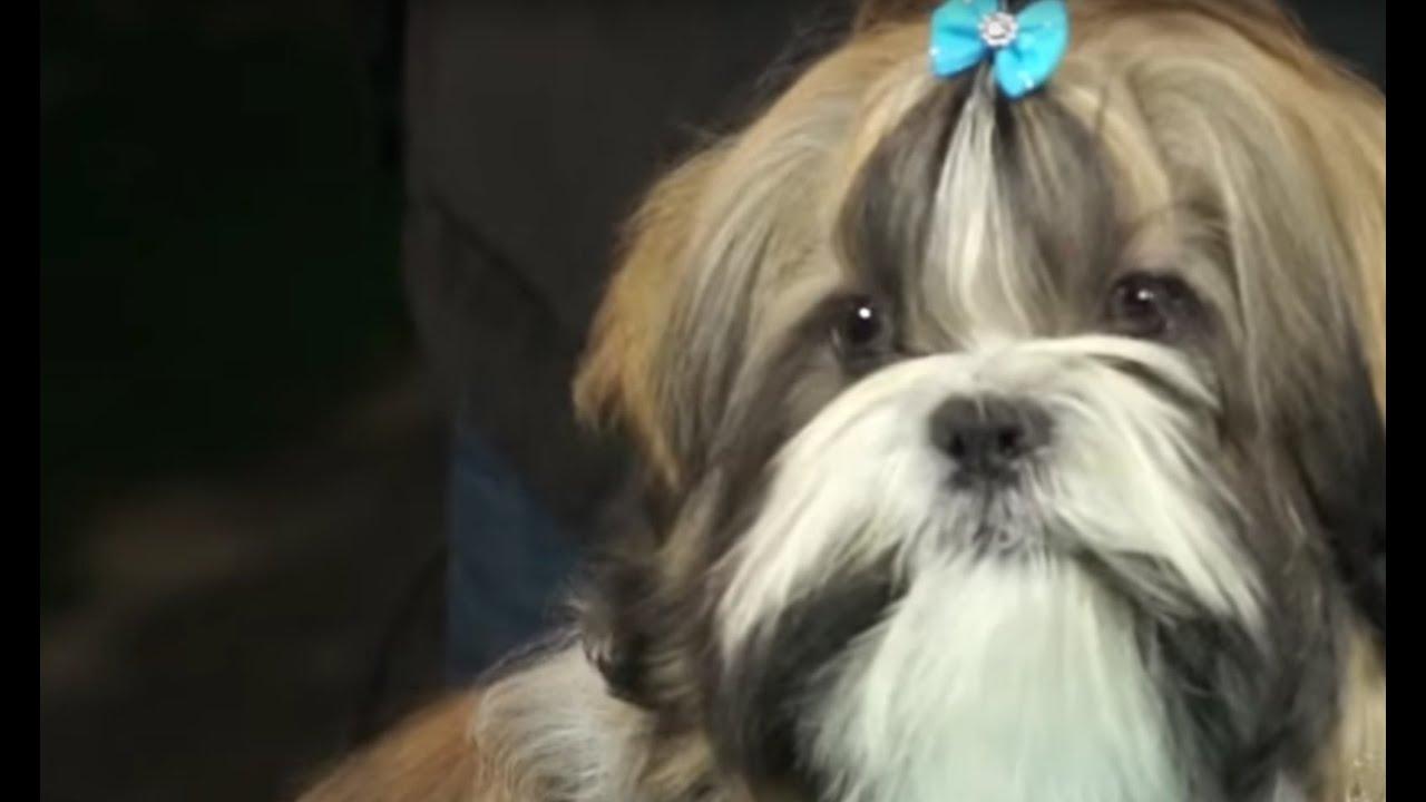 Perros Cómo Arreglar El Pelo A Un Perro De La Raza Shih Tzu