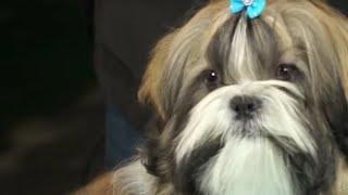 PERROS - Como arreglar el pelo a un perro de la raza Shih Tzu, Shitzu