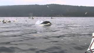 orca goes under my kayak