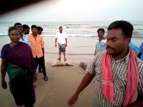 Share!!Killing dolphins in poombuhar,Threats to sea wealth