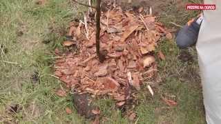 Jak sadzić drzewka owocowe