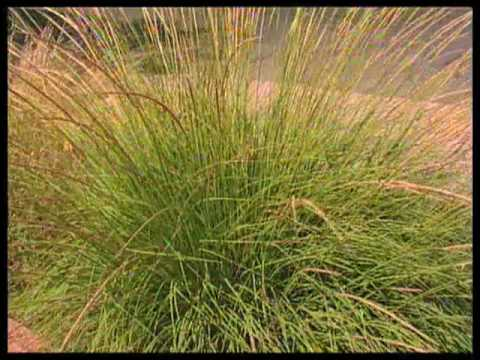 choose ornamental grasses