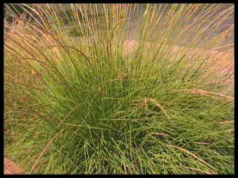 Ornamental Grasses Ontario How to choose ornamental grasses for the garden youtube how to choose ornamental grasses for the garden workwithnaturefo