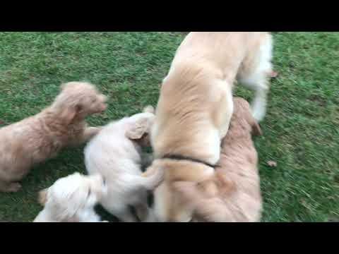 PuppyFinder.com : Standard Goldendoodle