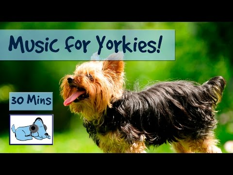 music-for-yorkies!-relax-your-yorkshire-terrier-with-relaxing-dog-music,-chill-out-your-yorkie!