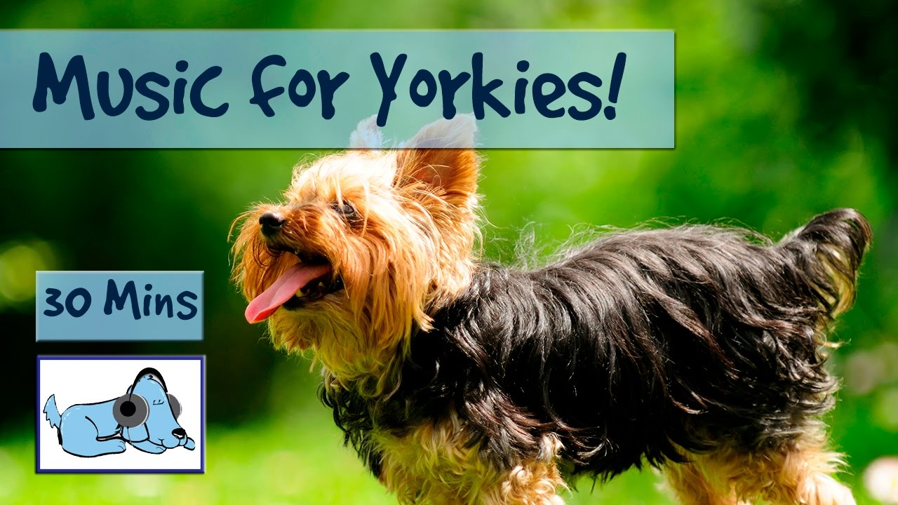 Music For Yorkies Relax Your Yorkshire Terrier With Relaxing Dog