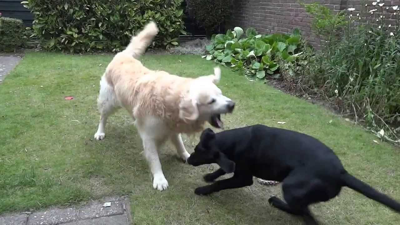 Black Lab And Golden Retriever S Daily Garden Fight Youtube