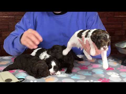 Gingers puppies November 19, 2019