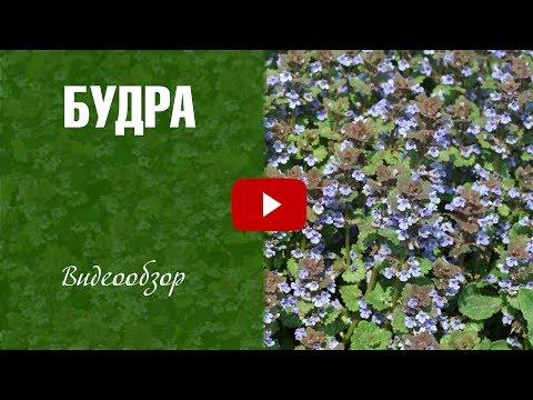 Будра плющевидная (растение) - свойства и применение будры