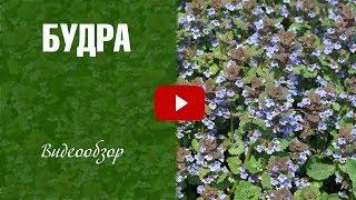 видео Будра плющевидная | Трава при желчекаменной болезни
