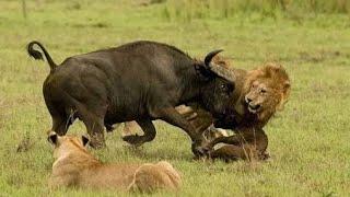 Ganasnya Hukum Rimba [Sapi vs  Raja Hutan]