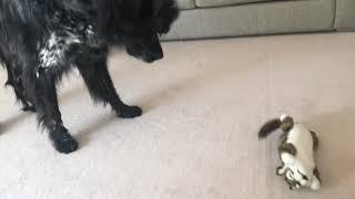 音や衝撃に反応して笑い転げ回る猫のおもちゃを高齢犬に与えてみたらこ...