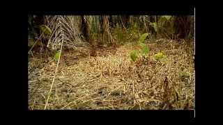 Video Ayam Hutan Pikat Betina 57 download MP3, 3GP, MP4, WEBM, AVI, FLV Juni 2018