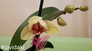 Домашняя орхидея фаленопсис мини цветение