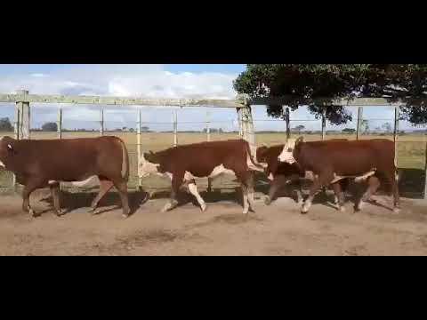 LOTE M01 - 40 TERNEIROS BRAFORD PESO MÉDIO 241 KG - FAZENDA DA VIGIA