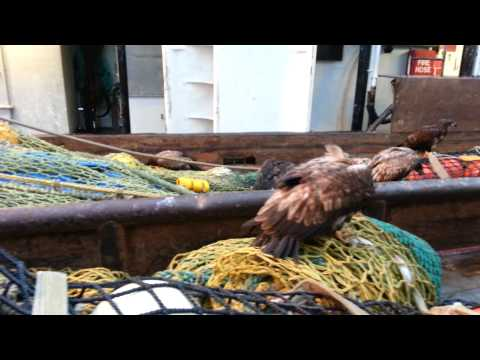 Eagles on our boat, Dutch Harbor, Alaska 5.13.2013