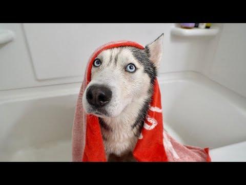 My Husky Doesn't Want a Bath..