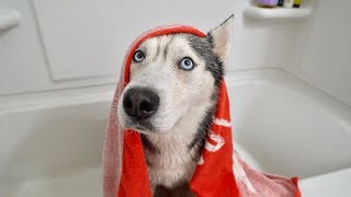 My Husky Doesn't Want a Bath..