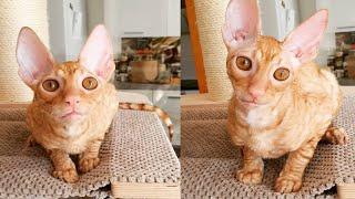 GLAMOROUS CORNISH REX CATS