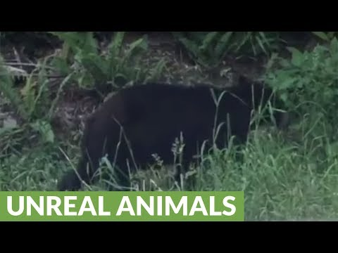 Black bear meanders home after tough day