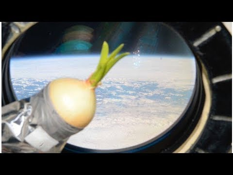 Space station is now home to a delicious sprouting onion