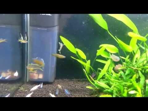Gertrude's Blue-eye Rainbowfish Pseudomugil Gertrudae Vs Forktail Blue-eye - Pseudomugil Furcatus