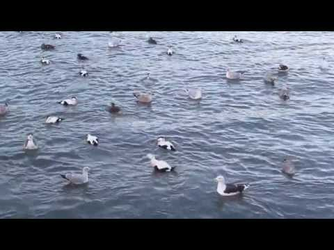 Eider Ducks, Gulls and a Seal in Dunbar Harbour