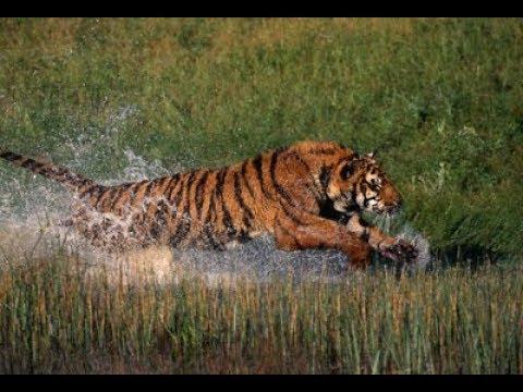 a strong Sundarbans tiger