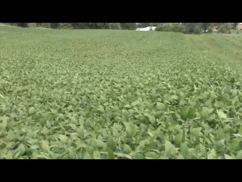 Soybeans Sept. 7th 2009