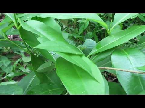 Cryptolepis dubia/wel rukattana/Herbal plants of Sri Lanka
