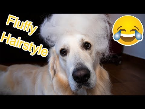 Grooming My Golden Retriever! What a Fluffy Dog! ASMR
