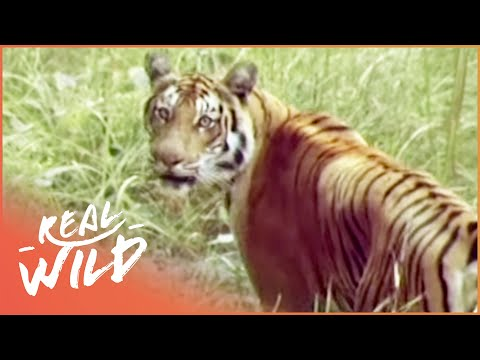 Kingdoms Of Survival: Tiger, Tiger | Wild Things