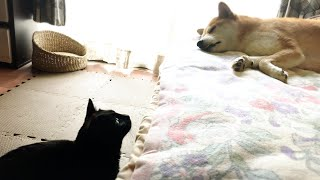 朝、やたらテンションの高い猫とやる気が行方不明の柴犬 The Cat is full of energy from morning