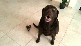 Labrador Dog And Fluffy Baby Duck . Funny Adorable Sweet Gentle