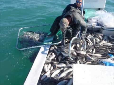 Roe Mullet Fishing 2011