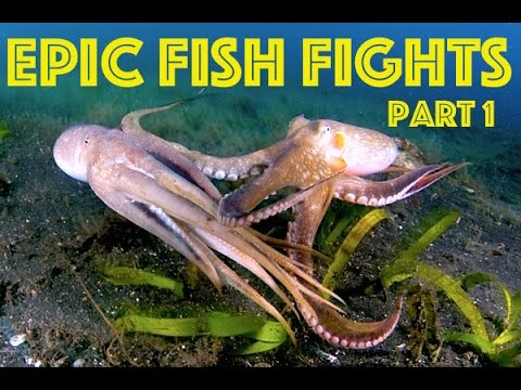 Octopus Vs. Scorpion Fish Vs. Puffer Fish - Epic Fish Fights Ep.#1 HD
