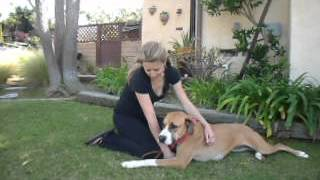 Katie - Pretty Great Dane / Boxer / Greyhound Mix Girl All Love And Kisses Needs Home