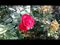 Rose plants collection in nursery | Many varieties of Roses