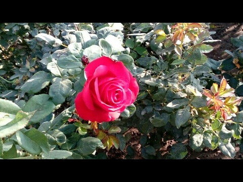 Rose Plants Collection In Nursery Many Varieties Of Roses