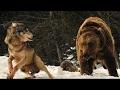 [New] HD - وثائقى - معركة الذئاب مقابل الدب البنى - عالم الحيوانات المفترسة