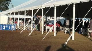 Pasco Florida Kennel Club Dog Show (brooksville, Fl - 1/22/12) - Dalmatian Judging