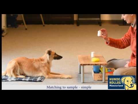 Konzeptlernen fr Hunde: matching to sample task with dog (simple)