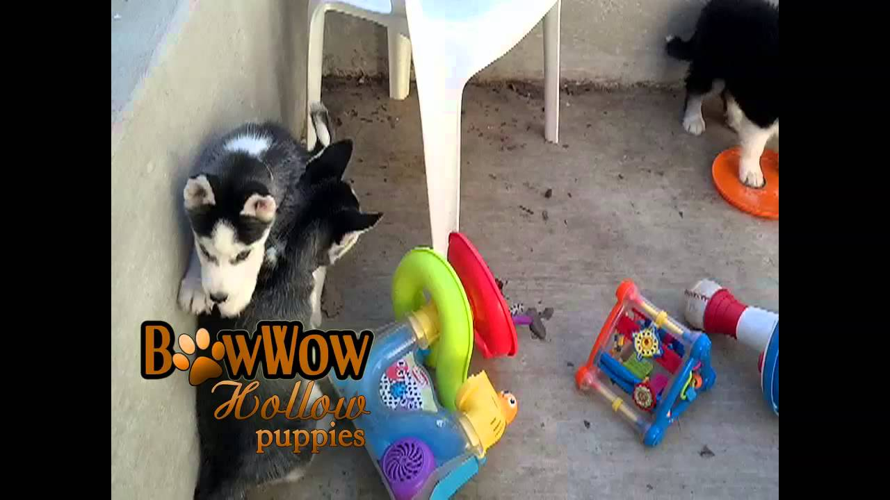 Bowwow Hollow Puppies Youtube