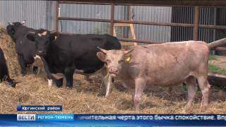 Розового быка вырастили на ферме в Тюменской области