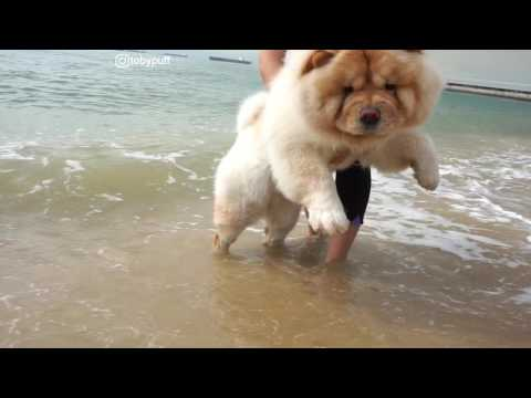 CHOWCHOW TOBYPUFF AT THE BEACH!!