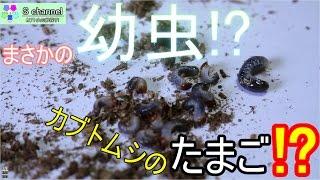 【s channel】まさかの幼虫!?カブトムシの卵探した結果!! カブト虫を育...